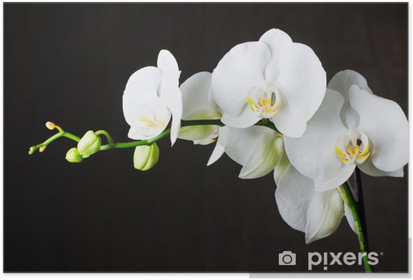 Póster Close-up of white orchids (phalaenopsis) against dark background - Temas