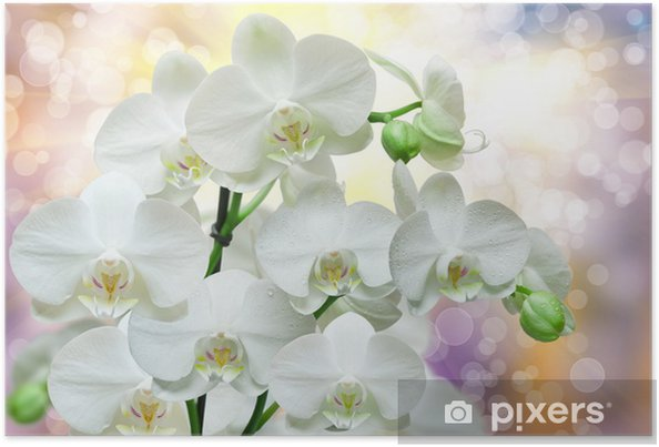 Póster orchid flower - Flores