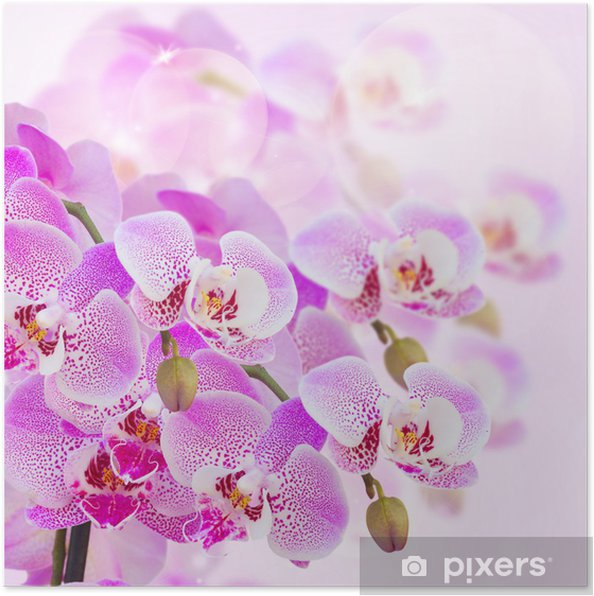 Póster pink orchid branch close up - Temas