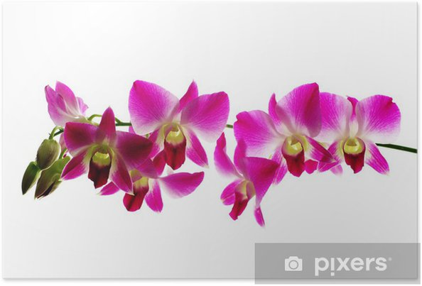 Póster Red orchids isolated white background - Decalque de parede