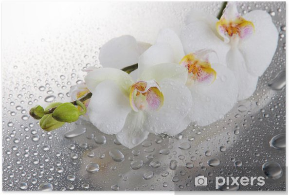 Póster white beautiful orchids with drops - Temas