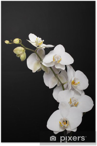 Póster White orchid isolated on black - Temas