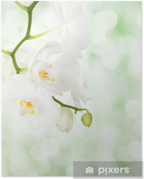 Póster White orchid on defocused light green background. - Temas