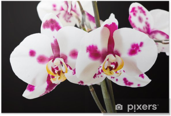 Póster White orchid - Temas