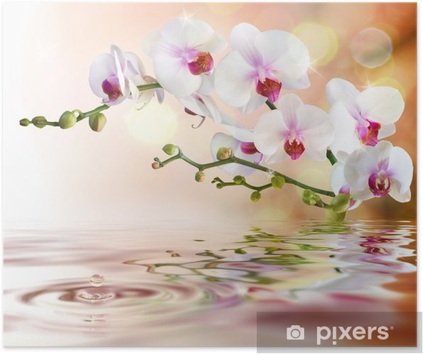 Póster white orchids on water with drop -