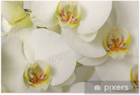 Póster white orchids - Temas