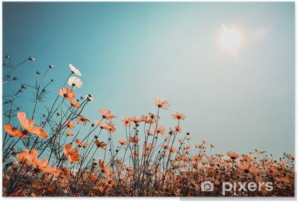 Poster Bahar güneş ışığı ile güzel cosmos çiçek alanın vintage manzara doğa arka plan. vintage renk tonu filtre efekti - Manzaralar