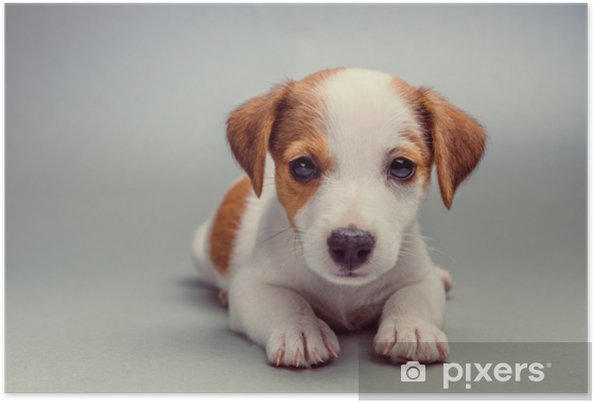 Poster Jack russell terrier yavrusu uzanmış - Hayvanlar