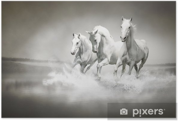 Poster Su ile çalışan beyaz atların Sürü -