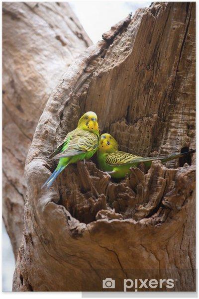 Yuva Muhabbet Kuşu Papağan çift Poster Pixers Haydi Dünyanızı