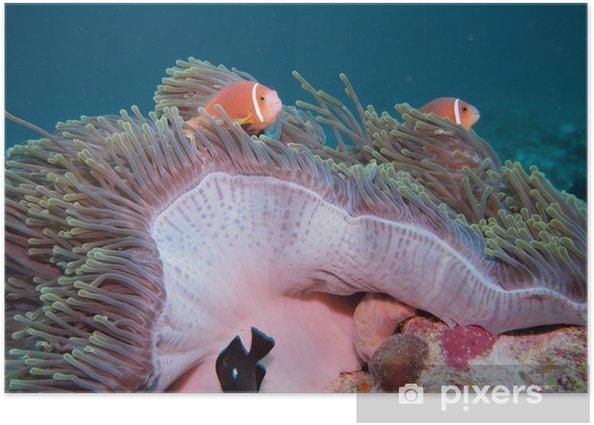 クマノミ(モルディブ固有種) Poster - Aquatic and Marine Life