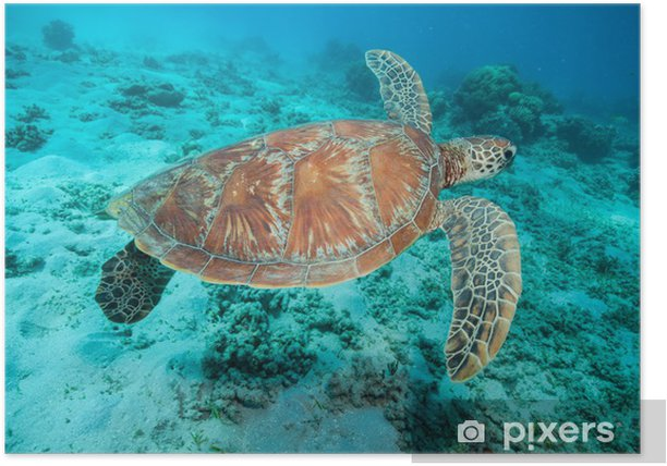 アオウミガメ Poster - Coral reef
