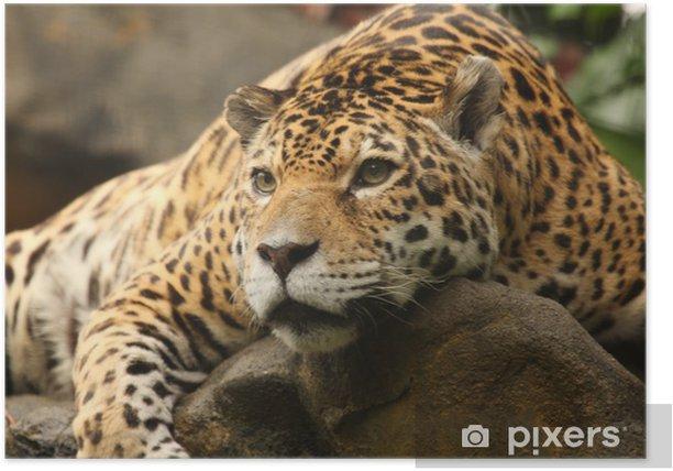 A photo of a male jaguar Poster - Mammals