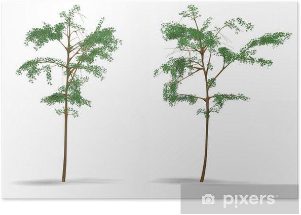 Poster Acacia - Merveilles naturelles