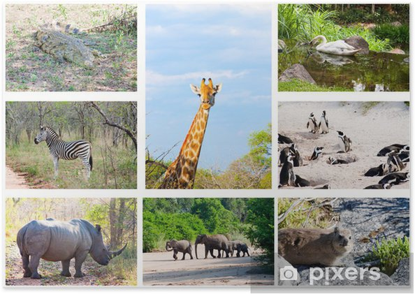 African Wild Animals Collage Fauna In Kruger Park South Africa Poster