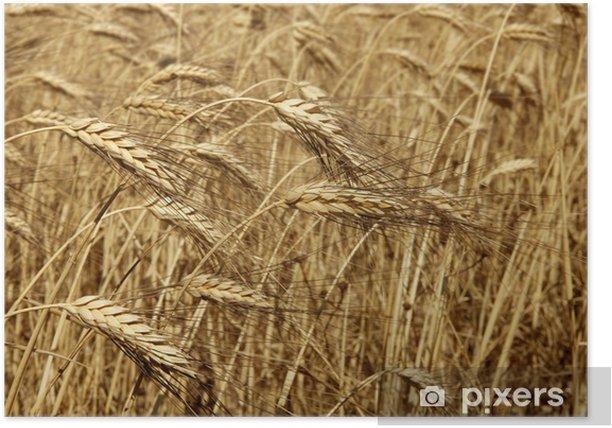 Poster Agriculture blé doré séchée fiels cultures - Agriculture