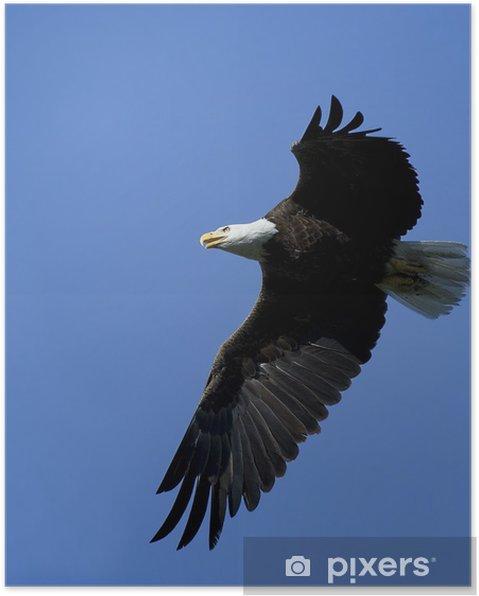 Póster Águila calva en vuelo. - Temas