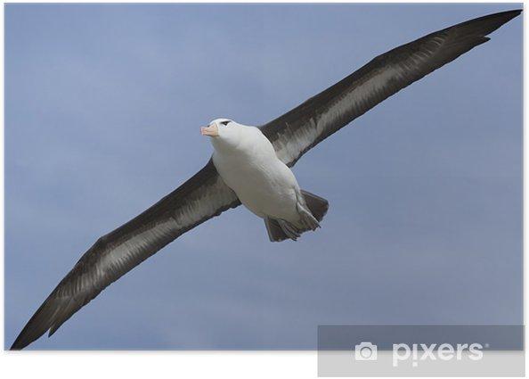 Poster Albatros à sourcils noirs (Diomedea melanophris) - Oiseaux