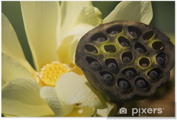 American Lotus Seed Pod Poster Pixers We Live To Change