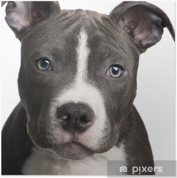 Poster American Staffordshire terriër puppy (3 maanden) - iStaging