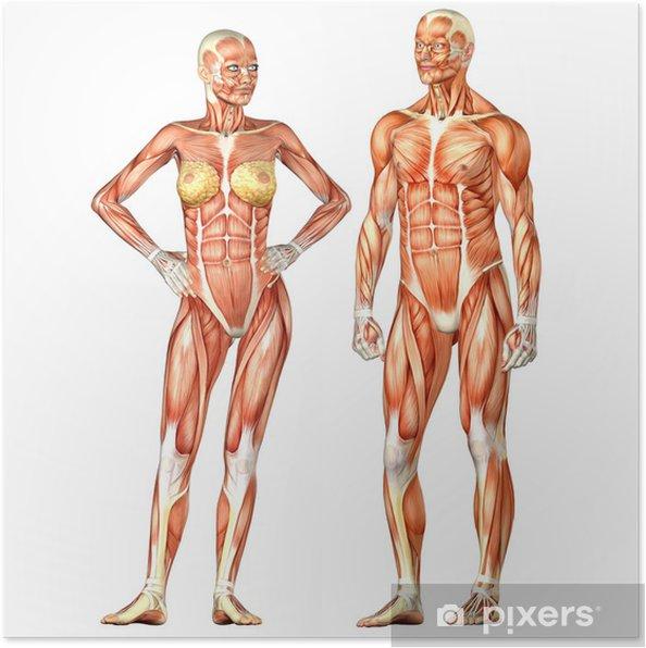 Anatomie Corps Humain Femme poster anatomie du corps humain - homme et femme • pixers® - nous
