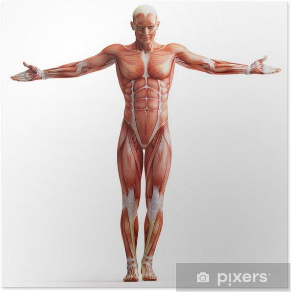 Poster Anatomie, spieren - Gezondheid en Geneeskunde