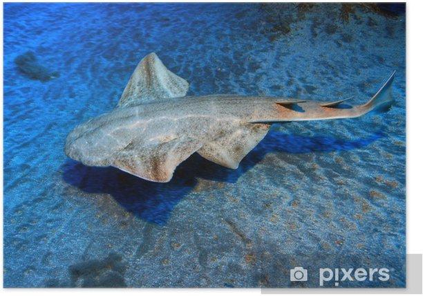 Poster Ange de mer commun (Squatina squatina) - Animaux marins