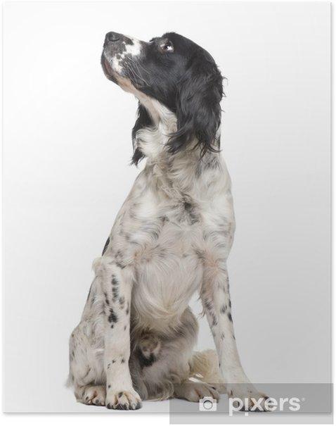 Poster Anglais Springer Spaniel (1 an) - Mammifères