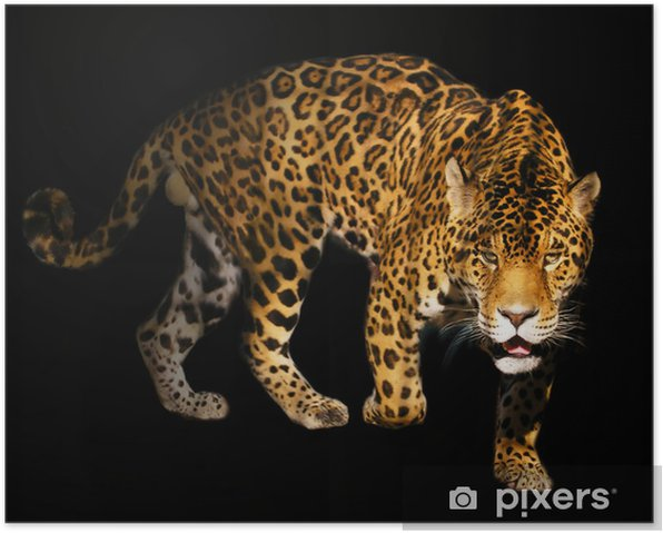 angry wild panther on black background Poster -
