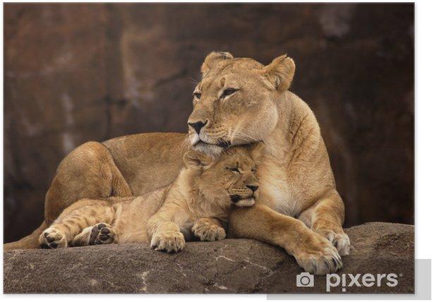 animal - african lion (panthera leo krugeri) Poster - Themes