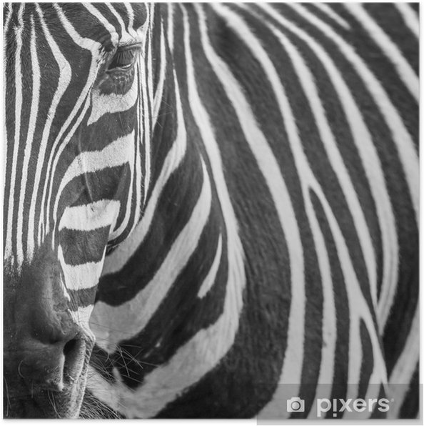 animal zebre portrait Poster - Themes
