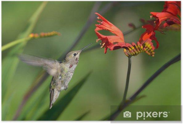 Poster Annas Hummingbird se nourrissant de fleurs Crocosmia - Oiseaux