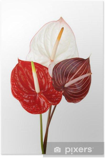 Poster Anthurium 4 - Fleurs