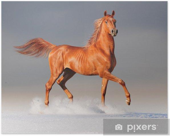 arabian horse in winter Poster -