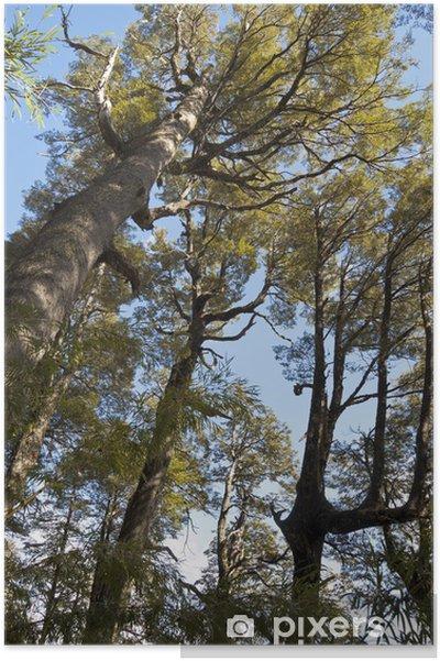 Poster Araucaria forêt et lenga, Chili - Amérique