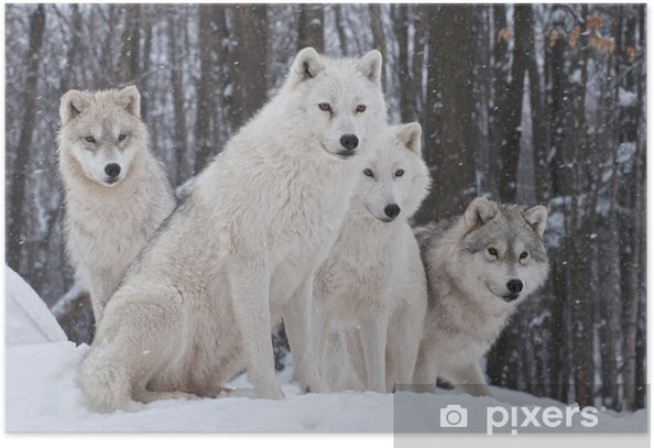 Arctic Wolf Pack Poster - Wolves