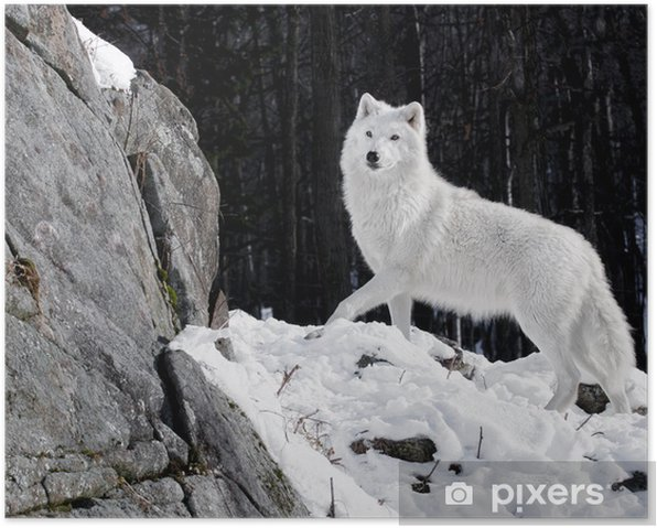 Arctic Wolf Portrait Poster - Themes