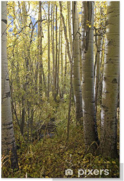 Aspen Forest in Colorado Poster - Trees