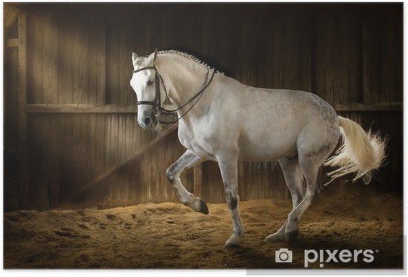 Póster Autoadhesivo Caballo blanco hacer piaf de adiestramiento en manege oscuro con polvo de arena - Animales