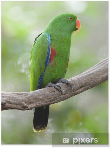 Poster autocollant Eclectus perroquet mâle oiseau vert, l'Indonésie - Thèmes