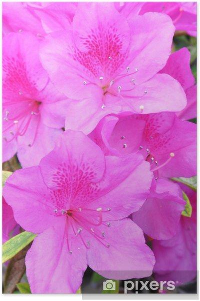 Poster Azalées - Fleurs