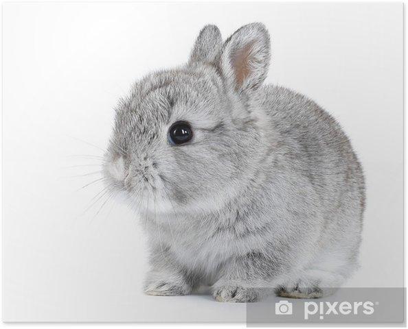 Póster Baby bunny conejo gris sobre fondo blanco - Conejos