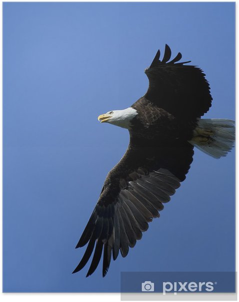 Bald Eagle in flight. Poster - Themes