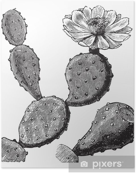 Barbary Fig or Indian Fig Opuntia or Prickly Pear or Opuntia fic Poster - Flowers