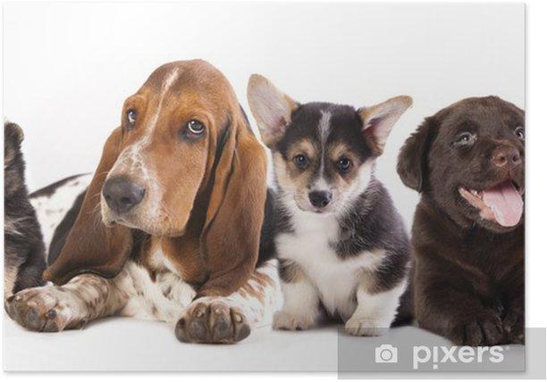 Basset Hound And Corgi Labrador Dog Pomeranian Puppies Poster