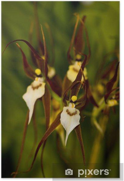 Poster Bassia orchidée - Plantes