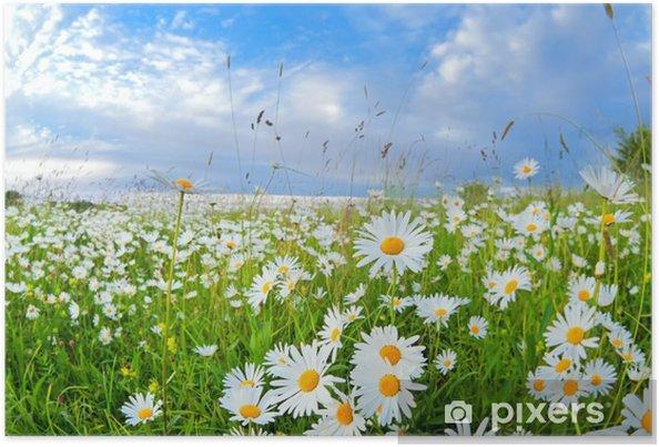 Poster Beaucoup de fleurs de camomille sur ciel bleu - Thèmes