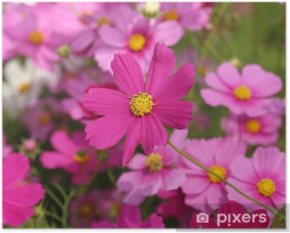 beautiful cosmos flower Poster - Flowers