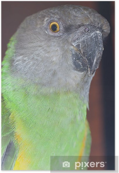 beautiful green and yellow senegal parrot closeup Poster - Birds