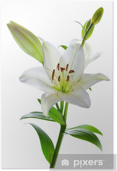 Beautiful Lily Flowers Isolated On White Poster Pixers We